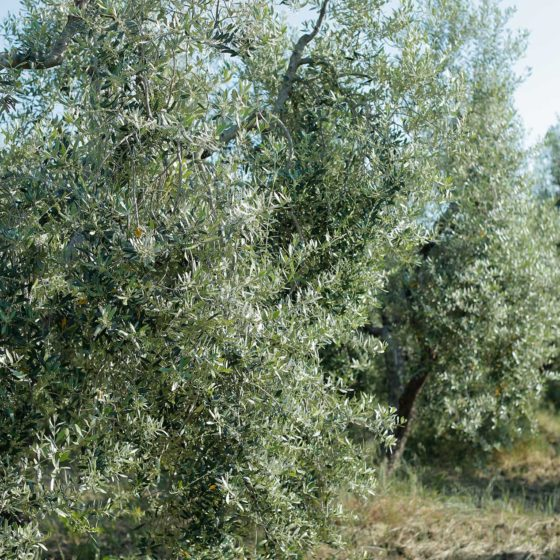 Olio Extra Vergine di Oliva Poggio Stenti